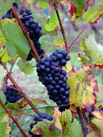 des vins: details of french red bunch grapes Pinot noir in Alsace region - France  Stock Photo