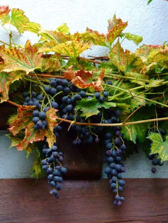 des vins: Close up of french red bunch grapes on a wall half timbered in Alsace region - France