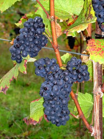des vins: Close up of french red bunch grapes Pinot noir in Alsace region - France