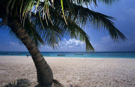 Palm tree at Saona island beach - Dominican republic photo