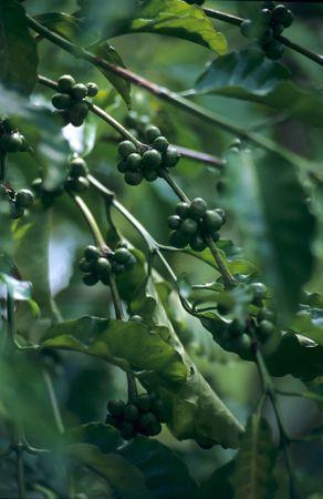 arbol de cafe: Los granos de caf� inmaduros en el tallo de las plantaciones en la Rep�blica Dominicana Foto de archivo