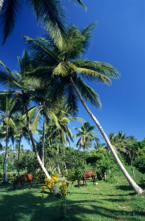palmtree: Palmtree garden with horses in Dominican republic countryside Stock Photo