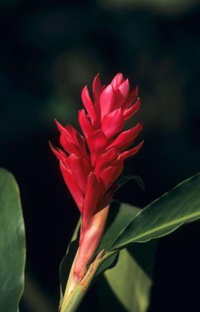 alpinia: Torch Ginger red flower (Alpinia purpurata) in Dominican republic  Stock Photo