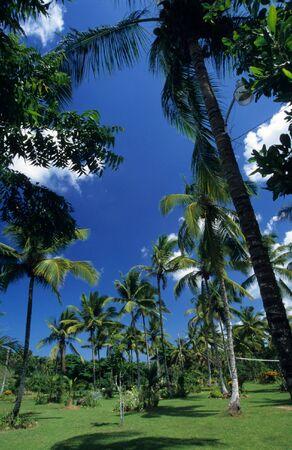palmtree: Palmtree garden  in Dominican republic countryside