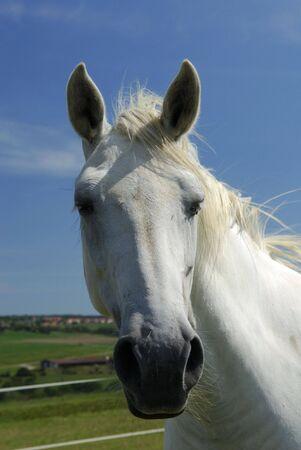muffle: portrait of an unbridled Arabian White horse - France Stock Photo