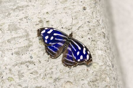 Mexican Bluewing (Myscelia ethusa), blue and white stripped butterfly Banco de Imagens