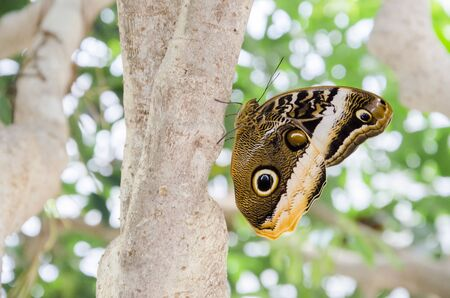 Owl butterfly (Caligo), peculiar tropical insect with delicate mimetic patterns