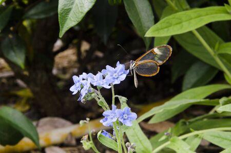 Glasswinged butterfly (Greta oto), a beautiful transparent winged lepidoptera Фото со стока