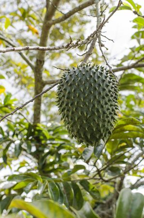 Soursop fruit (Annona muricata) hanging from the plant, in its natural environment Stock Photo