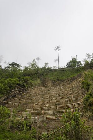 Wax palm terrace cultivation, attempted reforestation of Ceroxylon quindiuense, national tree of Colombia, in the Cocora Valley