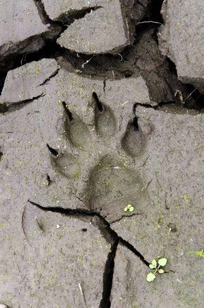 Soil detail: dog paw print in cracked mud 스톡 콘텐츠