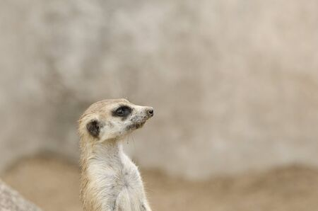 Meerkat, suricate, Suricata suricatta, portrait, in sentry position; specimen in captivity
