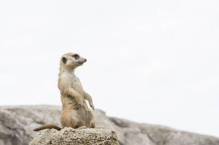 Meerkat, suricate, Suricata suricatta, standing sentry; specimen in captivity Archivio Fotografico