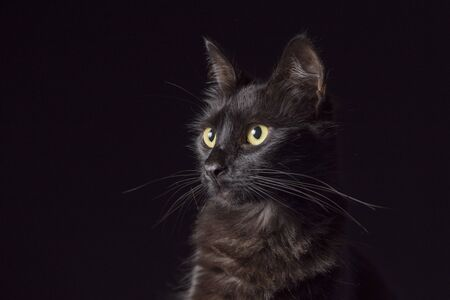 Pet portrait: beautiful black cat with yellow eyes and an attentive look, dark background.
