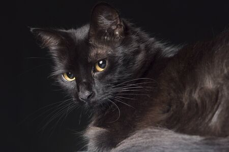 Pet portrait: beautiful black cat with yellow eyes looking towards the camera, dark background.
