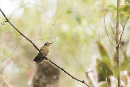 Female hummingbird standing on a branch, tyrian metaltail, Metallura tyrianthina. La Calera, Cundinamarca, Colombia