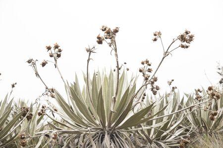 Chingaza National Natural Park, Colombia. Native vegetation, paramo ecosystem: frailejon, espeletia grandiflora Reklamní fotografie