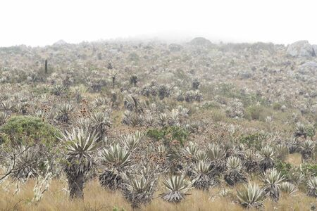 Chingaza National Natural Park, Colombia. Misty landscape, moor in the rain, vegetation typical of the paramo, including frailejones, espeletia grandiflora.