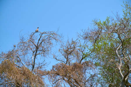 Spring scene in the Costanera Sur ecological reserve, a white-tipped dove, Leptotila verreauxi, at the top of a tree, green leaves begin to sprout on the branches. Buenos Aires, Argentina
