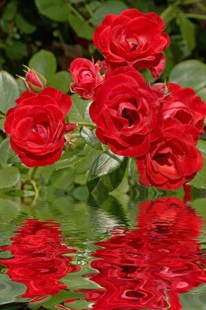 Red rose reflections (12MP camera). Фото со стока