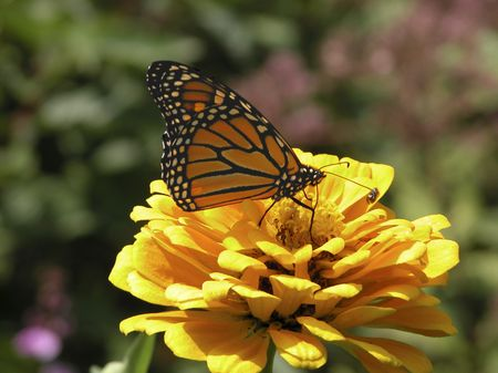 A Monarch butterfly (Danaus plexippus) on a marigold flower (Calendula officinalis). (8MP camera, macro)