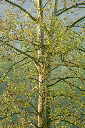 American Sycamore tree (Plantus occidentalis) at Cades Cove, Rocky Mountain National Park in Tennessee, USA. (12MP camera) Фото со стока