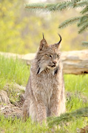 A Canadian Lynx (Lynx canadensis) with prominent ear tufts looks camera right. Focus=eyes. 12MP camera, recorded at a game farm. Фото со стока