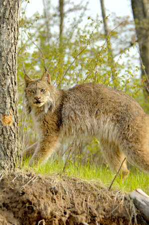 A standing Canadian Lynx (Lynx canadensis) with prominent ear tufts. 12MP camera, taken at a game farm. Focus = the face.