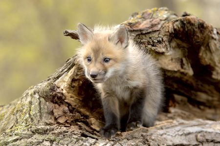 A Red Fox pup (Vulpes vulpes), taken at a game farm. 12MP camera.