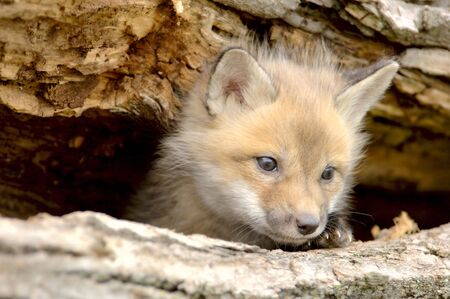 A Red Fox pup (Vulpes vulpes) peers from a log hole. Taken at a game farm. 12MP camera.
