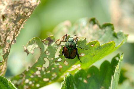 A Japanese Beetle, Popillia japonica, works on skeletonizing (eating) a strawberry plant. 12MP camera. Focus = the beetle. Фото со стока