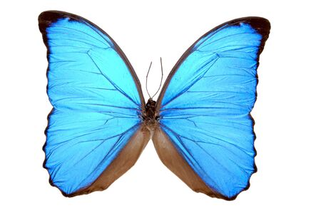 A true Morpho Blue Butterfly (Morpho menelaus); isolated preserved specimen. 12MP camera.