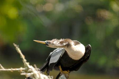 Beautiful female Anhinga (Anhinga anhinga) perched on an oak branch on Amelia Island, Florida. 12MP camera.