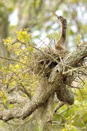 An Anhinga (Anhinga anhinga) female guards a nest on Amelia Island, Florida, U.S.A.  Фото со стока