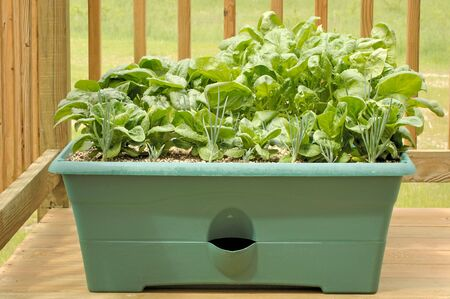 Container garden on a wood deck with shallots, lettuce, and spinach.  Foto de archivo