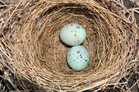 Abandoned bird nest with tiny (1 centimeter) blue eggs.