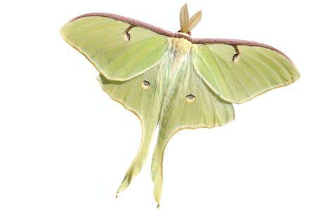 A live large, nocturnal Luna moth (Actias luna). Фото со стока