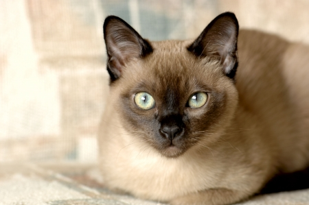A purebred Tonkinese male kitten. Focus = the eyes. 12MP camera. Stock Photo