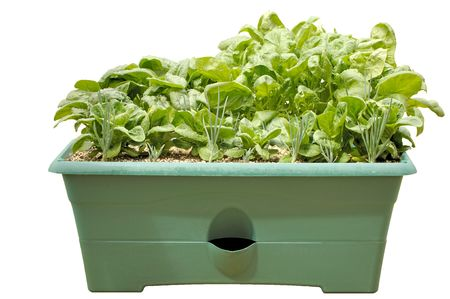 Container garden with shallots, lettuce, and spinach. Isolated.