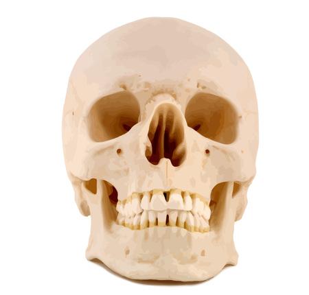 Human Skull, anatomically correct. VECTOR.