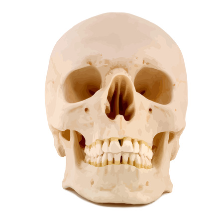 Human Skull, anatomically correct. VECTOR.
