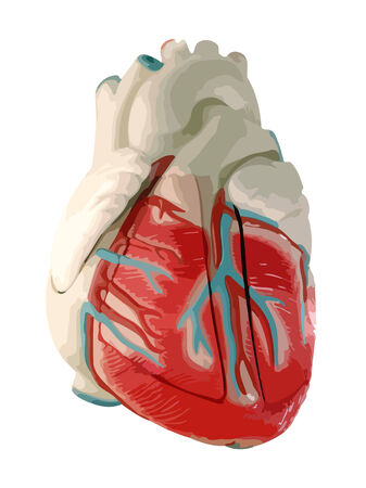 Human Heart, anatomically correct. VECTOR.