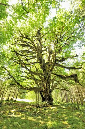 Magnificent Bigleaf Maple (Acer macrophyllum) with hanging moss.  Фото со стока