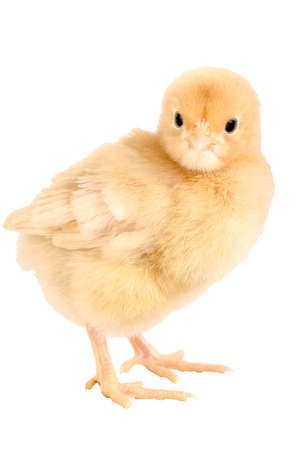 Buff Orpington chick, 3 days old. Isolated. Clipping path. Фото со стока