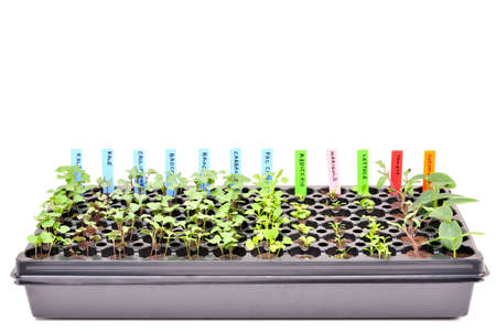 A flat of young seedlings. Isolated
