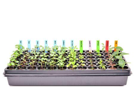 A flat of young seedlings Фото со стока