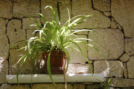 Spider Plant on self