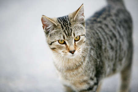 Domestic short hair cat with gold eyes Imagens