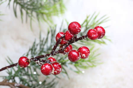 bough: Red holly berry on evergreen bough