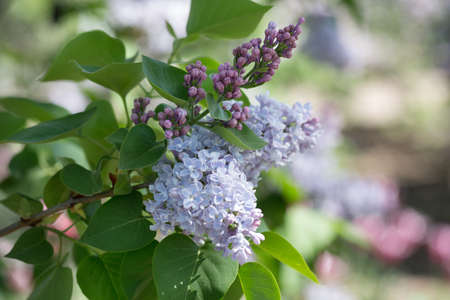lilac buds and flowers photo